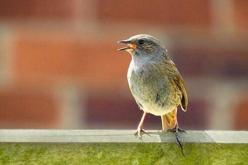 Nightingale sitting on a ledge