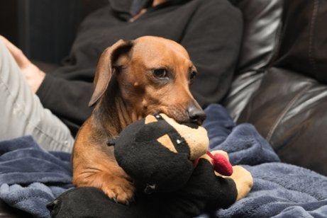 A jealous dog bring a toy to his master.