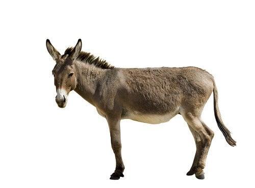 A skinny mule