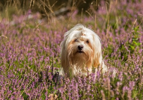 Havanese in a field
