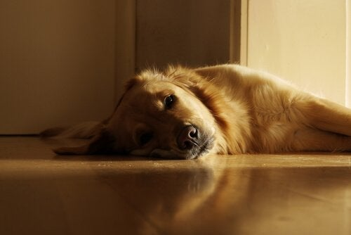 A Golden Retriever lying on a wooden floor.