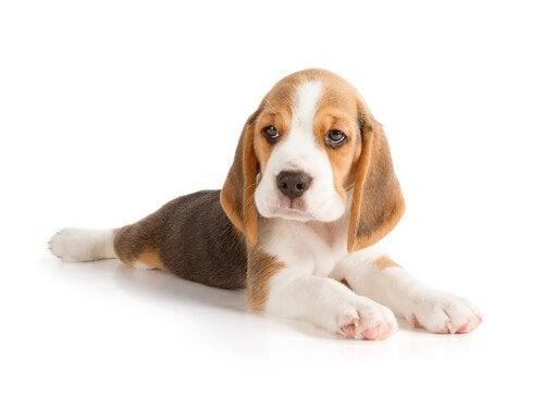 A Beagle laying on its stomach.