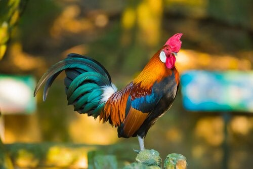 The rooster, one of the animals in the Chinese zodiac
