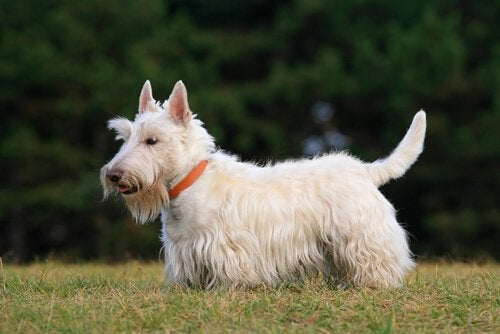 A Scottish Terrier, one of the dogs of the Scottish Highlands