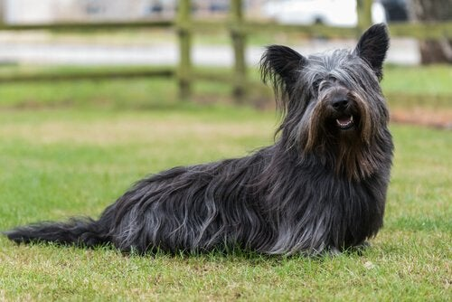 A Skye Terrier: dogs of the Scottish highlands
