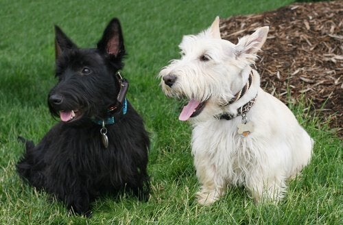 Dogs with short legs: Scottish Terriers