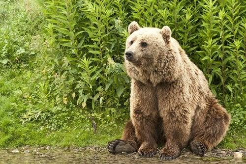 A bear sitting down