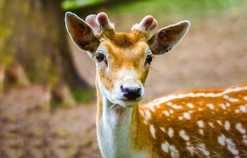 A fawn with tiny antlers