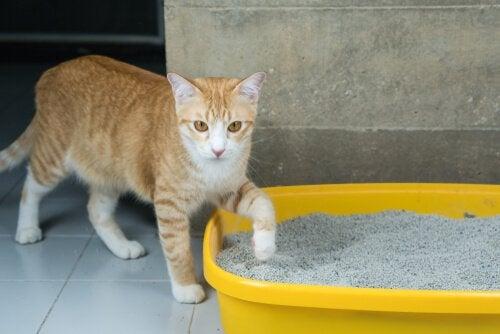 Cat next to litter box