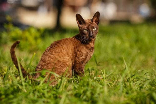 Cornish Rex sitting in a field of grass