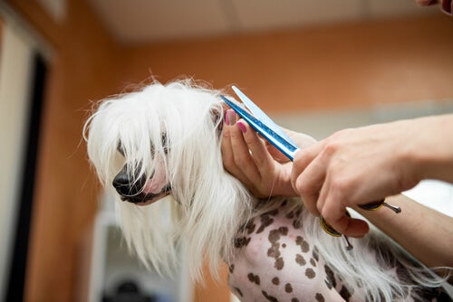 Dog having hair trimmed with scissors