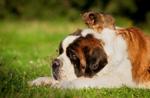 An old Saint Bernard lying on the grass with puppy on its back