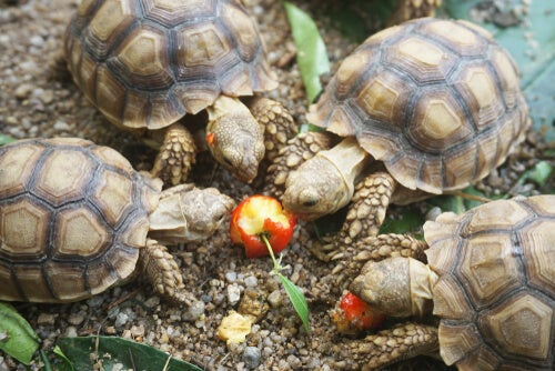 Small African Tortoises eating a cherry