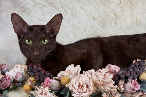 Havana Brown cat lying on top of some dried flowers.