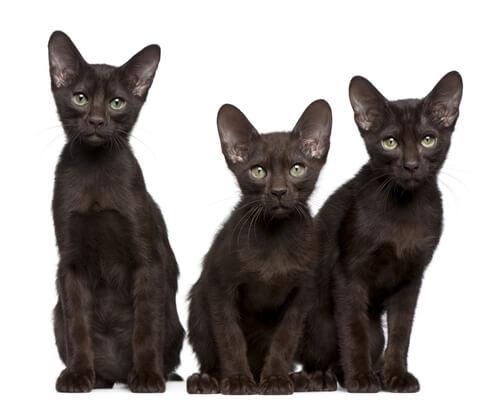 Three Havana Brown Cats sitting down