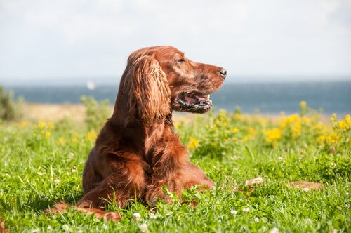 Red Irish Setter lying down in the grass