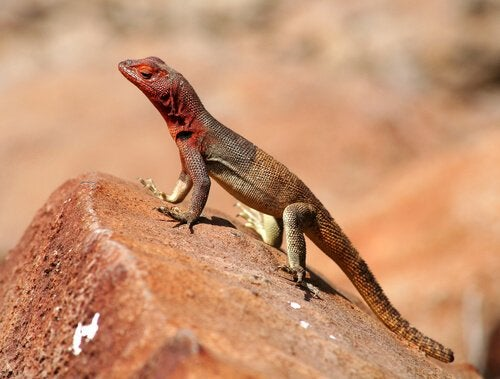 A lava lizard, part of the wildlife of the galapagos islands