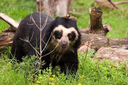 Spectacled bear in the woods