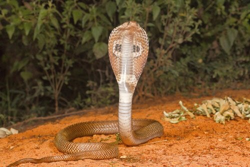 Indian Cobra hissing into the camera