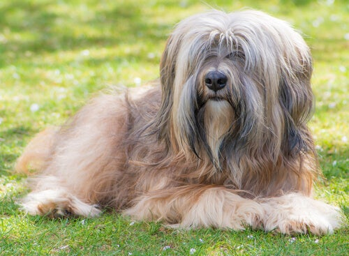 The Tibetan Terrier: From The Temples To People's Homes