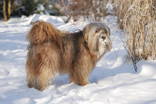 Tibetan terrier standing in the snow