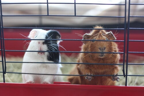 Ideas to Improve Your Guinea Pig's Cage