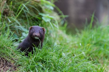 American mink in the grass