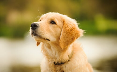 A Golden Retriever Puppy looking at something