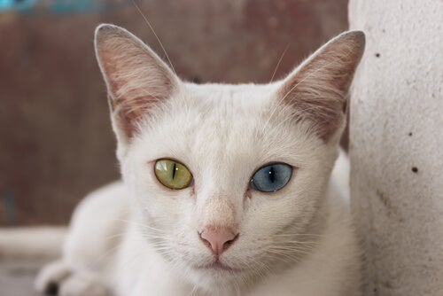 A Khao Manee with one yellow eye and one blue eye