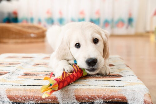 A puppy with a toy in its mouth