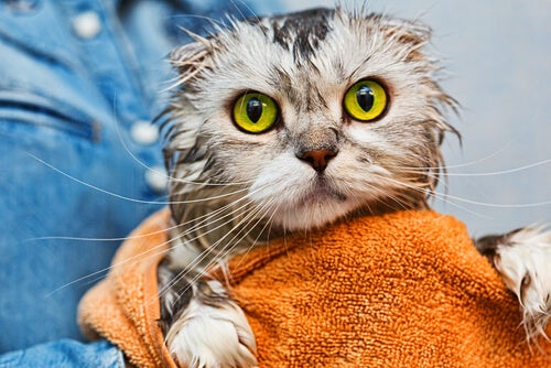 Cat with big yellow eyes is getting dried with a towel after taking a bath