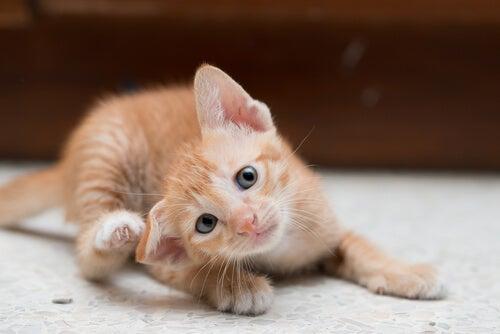Kitten scratching head