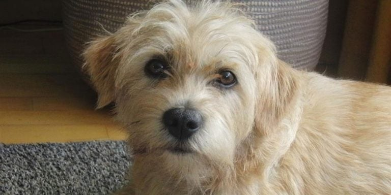 Dutch Smoushound: Traits and Behavior