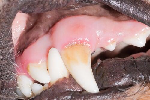 A dog's teeth with tatar