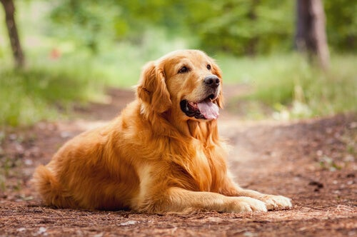 Golden Retriever lying down with a smile