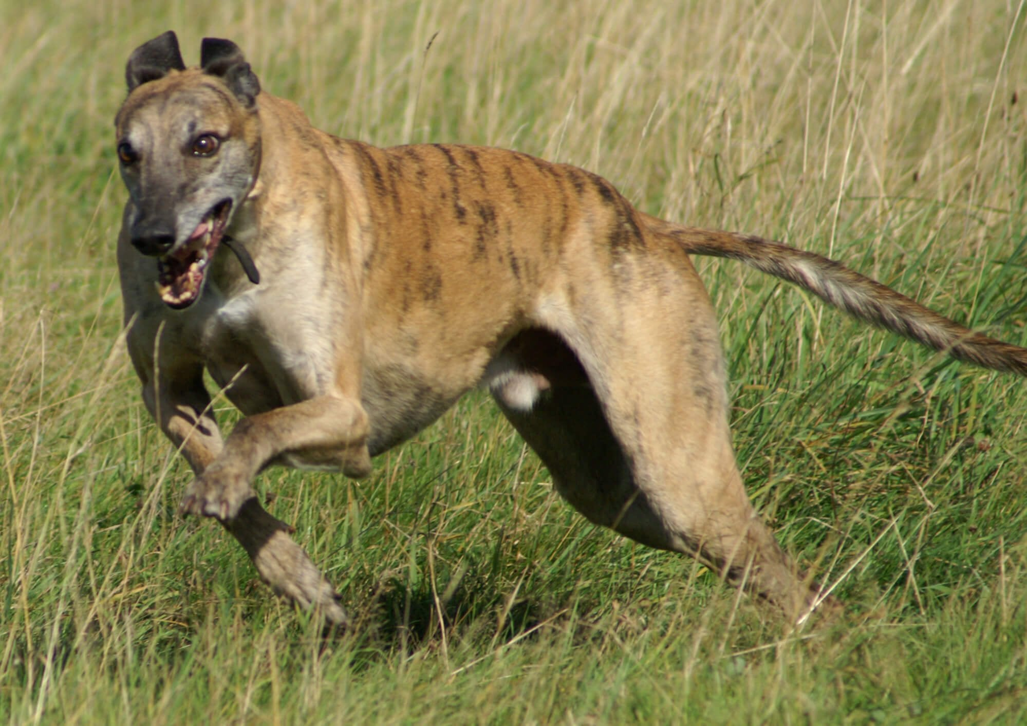 Banjara Greyhounds running through a field