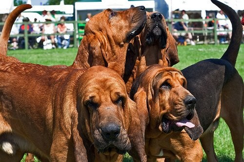 4 bloodhounds