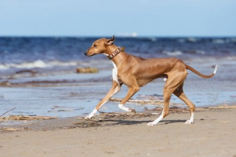 Azawakh Greyhound running on the beach