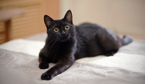 Black cat lying on this owner's bed