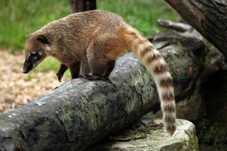Coati standing on a log
