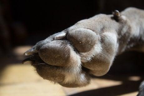 A dog's paw with dewclaw