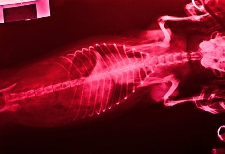 X-ray of an animal