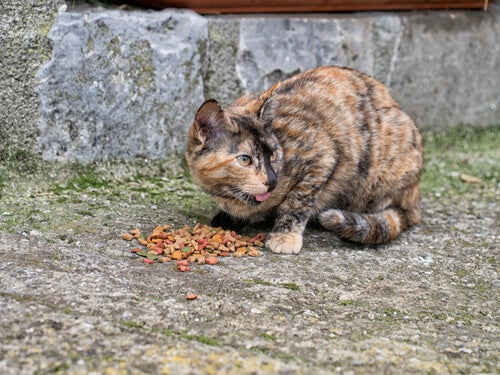 Stray cat eating on the street