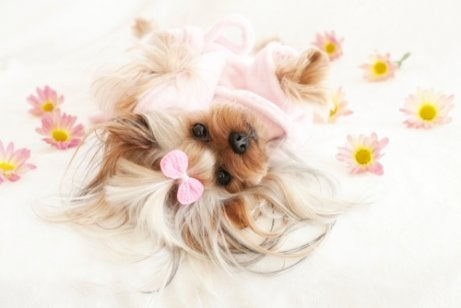 Yorkie lying down on a sheet with some flowers on it.