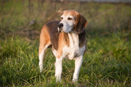 English Foxhound standing in the grass