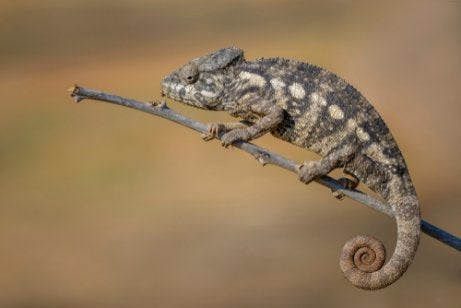 Giant chameleon on a twig