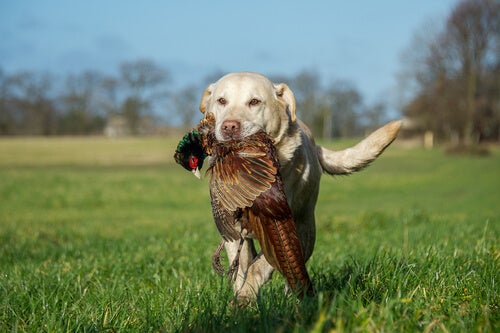 A hunting dog bring back a bird to his owner