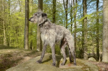 Scottish Greyhound in the woods