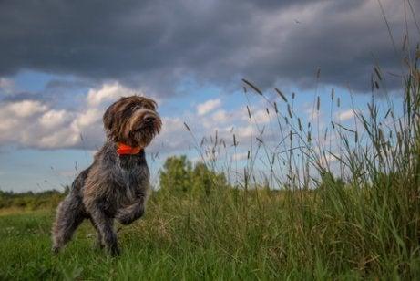 Hunting dog running through a field