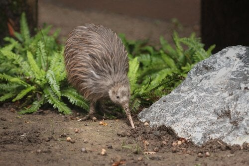 kiwi hunting for insects